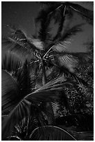 Coconut trees at night, Salomon Beach. Virgin Islands National Park ( black and white)
