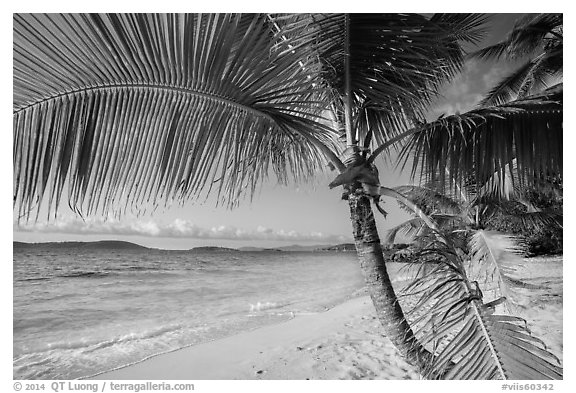 Palm tree framing beach, Salomon Bay. Virgin Islands National Park (black and white)