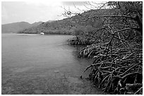 Mangrove shore, Round Bay. Virgin Islands National Park, US Virgin Islands. (black and white)