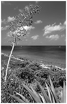 Agave and tall flower on Ram Head. Virgin Islands National Park, US Virgin Islands. (black and white)