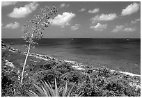 Centenial flower and ocean on Ram Head. Virgin Islands National Park, US Virgin Islands. (black and white)