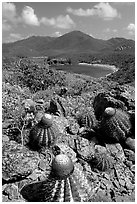 Cactus on Ram Head. Virgin Islands National Park, US Virgin Islands. (black and white)