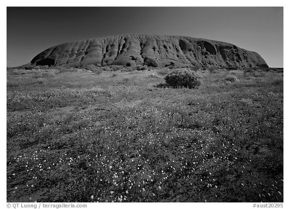 Black and white picture photo flowers and ayers rock uluru kata tjuta national park northern territories australia