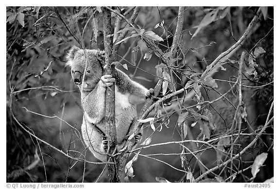 Black and white picture photo koala in natural environment australia