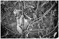 Koala in natural environment. Australia (black and white)