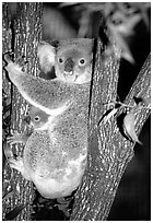 Koala with cub. Australia (black and white)