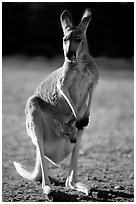 Female Kangaroo with joey in pocket. Australia (black and white)