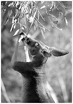 Kangaroo reaching for leaves. Australia ( black and white)