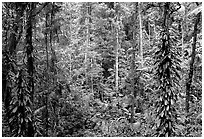 Rainforest, Cape Tribulation. Queensland, Australia (black and white)