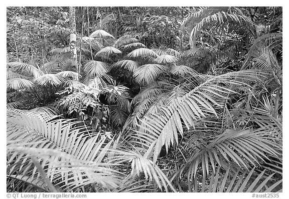 Ferns in Rainforest, Cape Tribulation. Queensland, Australia