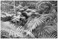Ferns in Rainforest, Cape Tribulation. Queensland, Australia ( black and white)