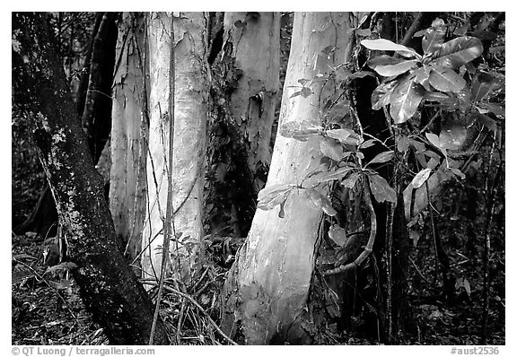 Trees in Rainforest, Cape Tribulation. Queensland, Australia (black and white)