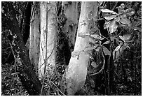Trees in Rainforest, Cape Tribulation. Queensland, Australia ( black and white)