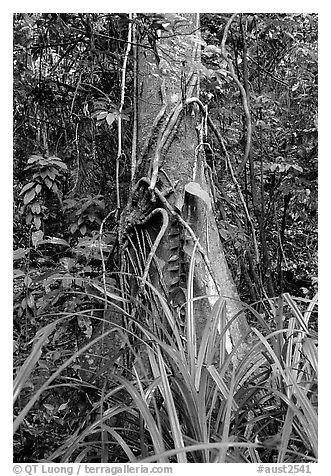 Tree with strangler fig. Queensland, Australia (black and white)