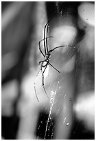Giant spider (Golden Orb). Australia ( black and white)