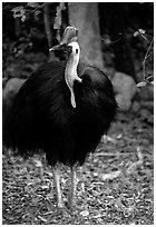 Cassowary rainforest bird. Australia ( black and white)