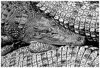 Crocodiles. Australia ( black and white)