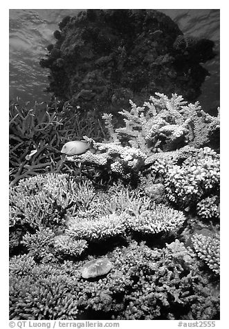 Underwater view of Coral. The Great Barrier Reef, Queensland, Australia (black and white)