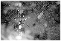 Golden Orb Spider and web. Australia ( black and white)
