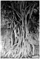 Banyan tree. Brisbane, Queensland, Australia (black and white)