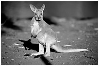 Young Kangaroo. Australia (black and white)