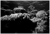 Underwater view of Coral. The Great Barrier Reef, Queensland, Australia ( black and white)