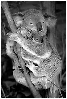 Koala and cub. Australia (black and white)