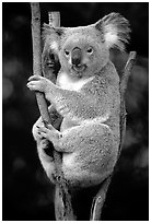 Koala. Australia (black and white)