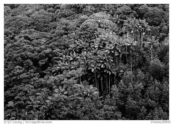 Palm trees and tropical flowers on hillside. Big Island, Hawaii, USA (black and white)