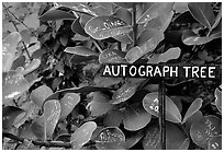 Leaves of the autograph tree. Big Island, Hawaii, USA (black and white)