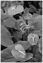 Red Anthurium Flowers. Big Island, Hawaii, USA ( black and white)