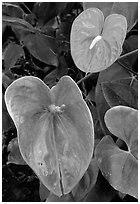 Anthurium Flowers. Big Island, Hawaii, USA (black and white)