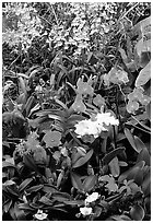 Tropical Flowers. Big Island, Hawaii, USA ( black and white)