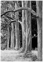 Rainbow Eucalyptus trees. Maui, Hawaii, USA (black and white)