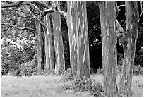 Eucalyptus deglupta. Maui, Hawaii, USA ( black and white)
