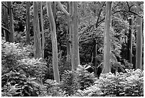 Mindanao Gum Trees (Rainbow Gum). Maui, Hawaii, USA ( black and white)