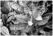 Tropical leaves. Maui, Hawaii, USA (black and white)