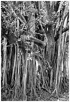 Bayan tree in Kipahulu. Maui, Hawaii, USA (black and white)