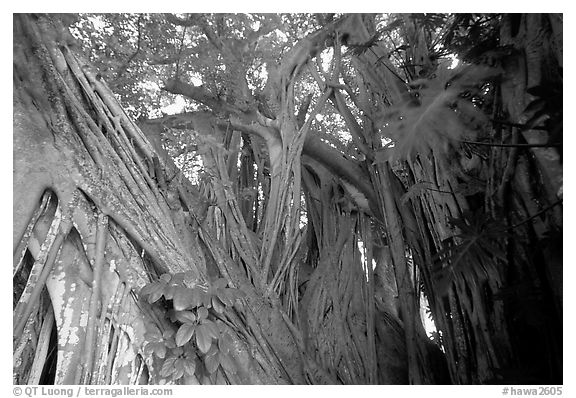 Giant Bayan tree in Kipahulu. Maui, Hawaii, USA (black and white)