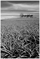 Pineapple plantation. Maui, Hawaii, USA (black and white)