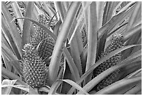 Pinapples, Dole Planation. Oahu island, Hawaii, USA ( black and white)