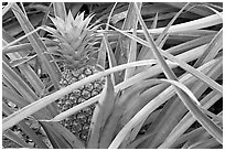 Pinapple,  Dole Planation. Oahu island, Hawaii, USA (black and white)