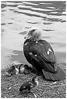 Duck and chicks, Byodo-In temple gardens. Oahu island, Hawaii, USA (black and white)