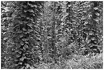 Tropical vegetation near the Pali Lookout. Oahu island, Hawaii, USA (black and white)