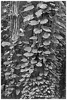 Big tropical leaves on a tree near the Pali Lookout. Oahu island, Hawaii, USA (black and white)