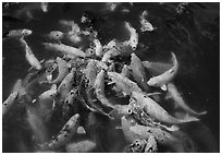 Carp fish, Byodo-In temple. Oahu island, Hawaii, USA (black and white)