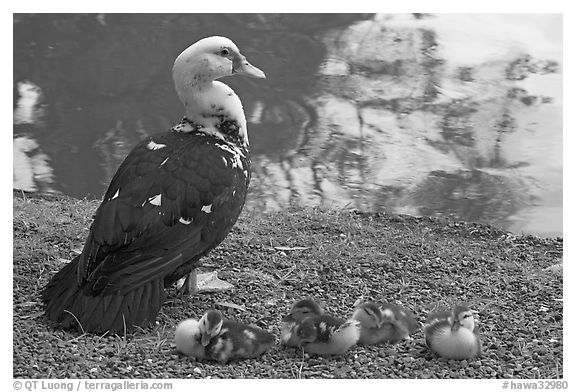 Duck and chicks, Byodo-In temple. Oahu island, Hawaii, USA (black and white)
