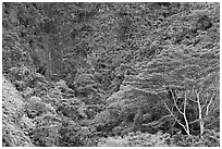 Luxuriant vegetation below cliff, Koolau Mountains. Oahu island, Hawaii, USA (black and white)