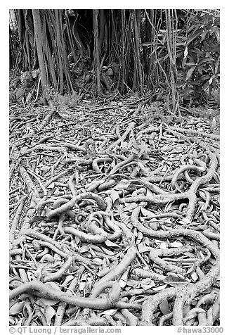 Roots of Banyan tree. Oahu island, Hawaii, USA (black and white)