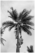 Samoan man climbing coconut tree. Polynesian Cultural Center, Oahu island, Hawaii, USA ( black and white)